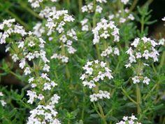 Winterharte Wildkräuter Thymus vulgaris 'Compactus' - Kleiner Gewürz-Thymian