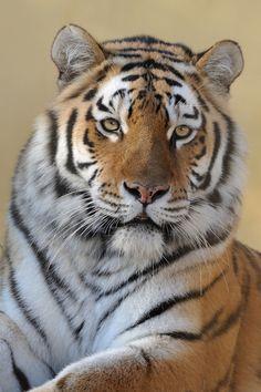 Beautiful Tiger Ina by Jutta Kirchner Beautiful Cats, Animals Beautiful, Cute Animals, Tiger Pictures, Cute Animal Pictures, Chat Lion, Big Cats Art, Tiger Love, Cat Species