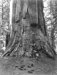 """Albumen silver print photograph of Muybridge in 1867 at base of the Ulysses S. Grant tree """"71 Feet in Circumference"""" in the Mariposa Grove, Yosemite, by Carleton Watkins."""