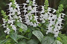 Summer Jewel White salvia  - Top 10 New Plants for 2015