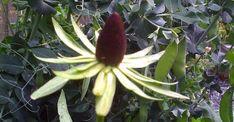 Rudbeckia occidentalis 'Green Wizard' op vasteplant.be/zon/6-10/groen en zwart 120 cm