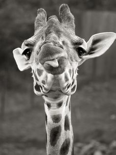~~Nice Long Weekend! ~ Cheeky Giraffe by senstec~~