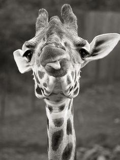 Cheeky giraffe.