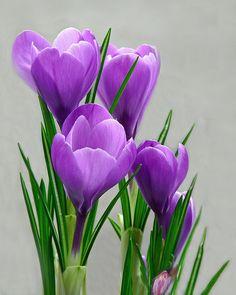 Spring Blooms  Vibrant purple crocuses