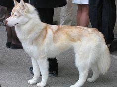 Siberian Huskies Red husky