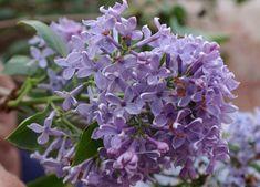 Az idén a szokottnál hamarabb bontott virágot a kerítések tövén egész évben szerénykedő illatos orgona. Levirágzás után érdemes metszőollóval segíteni a növényeknek, hogy több és a dúsabb virágokat hozzanak. Az orgonát speciálisan kell metszeni, különben könnyen búcsút mondhatunk egy évre a virágjának.