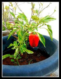 Urban Edens: Growing Capsicum/Shimla Mirch/Bell Pepper