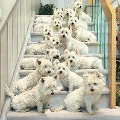 Now that's a lot of #Westies www.devinelockets.origamiowl.com