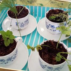 Teacup herbs! I made these super adorable teacup herbs for my friend's birthday. They are quick and easy to make, and you can pick up teacups practically anywhere and at any price - Op shops are a good place to start though! #diy #herbs #gardening #teacups #home