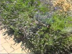 Video--Add Lavender to the Garden---Lavender is enjoyable in the garden for its flower and foliage color and fragrance. Lavender isn't difficult to grow if you remember a couple of important points: full sun and well-drained soil.