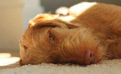 WireHaired Vizsla Animals And Pets, Funny Animals, Cute Animals, Vizsla Puppies, Cute Puppies, Wirehaired Vizsla, Hungarian Vizsla, Dog Pictures, I Love Dogs
