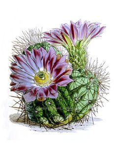 flor roxa do cacto