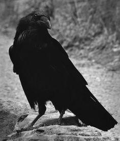 Raven on the path #darkmatter