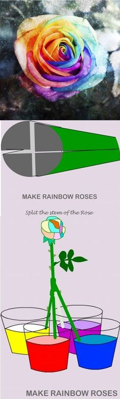 HOW TO MAKE A RAINBOW ROSE: Obtain a perfect white rose with 8-9 inches stem. Cut the end of the stem into 4 equal parts and up 6 inches. Dip the 4 stems ends into 4 cups of food coloring & wait for 24 hours. I suggest these color combinations: red-blue-green-yellow... violet-red-blue-yellow... or yellow-purple-grey-blue. Go to website for more detailed instructions. Fun for the babes!
