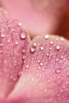 Water Drops On Pink Petals iPhone 4 Wallpaper