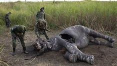 A Searing Look at Ties Between Africa's Wars and the Ivory Trade Beautiful Creatures, Animals Beautiful, Cute Animals, Animal Shelter, Animal Rescue, Ivory Trade, Jesus Mary And Joseph, Save The Elephants, Stop Animal Cruelty