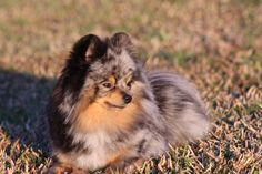 Blue Merle and Tan Pomeranian!!  My goodness so gorgeous.