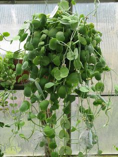 Dischidia nummularia (String of Nickels / Button Orchid) Succulent Gardening, Cacti And Succulents, Green Plants, Air Plants, Outdoor Plants, Outdoor Gardens, Plants Are Friends, Hanging Plants, Plant Decor