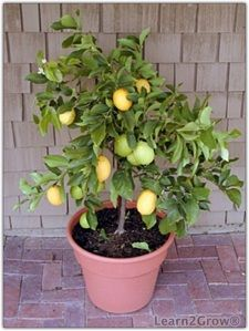 Citrus plants for indoor garden
