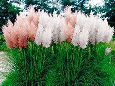 Pampas Grass-Mix (Cortaderia selloana) - fast growing  Ornamental Grass Seeds-Perennial Zones 7 - 10