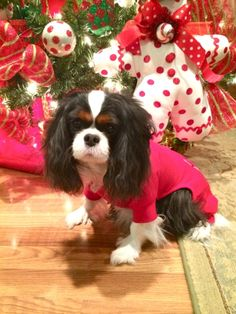 Holley Cavalier King Charles Spaniel