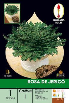 Rosa de Jericó, antiguamente los comerciantes las traían de Arabia como preciados talismanes para bendecir sus casas y negocios