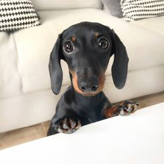 Dachshund Puppies Read up on what to expect once you bring home your Dachshund Breed, Dachshund Love, Dapple Dachshund, Cute Puppies, Cute Dogs, Dogs And Puppies, Corgi Puppies, Baby Animals, Cute Animals