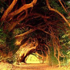 1000 Year Old Yew Tree, Aberglasney Garden