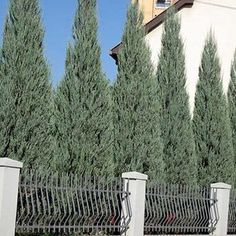 Quickly screen out neighbors or unsightly areas without taking up a lot of yard space, and get our Thuja Green Giant Evergreen Trees! Backyard Trees, Backyard Plants, Backyard Landscaping, Landscaping Ideas, Indoor Garden, Arborvitae Landscaping, Landscaping Software, Tropical Landscaping, Privacy Hedge