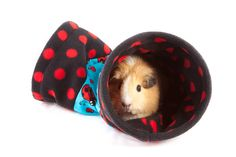 Ladybirds Cosy Tunnel designed for single guinea pigs, hedgehogs, small rabbits, rats, ferrets etc Full range of our stylish and fun items can be found at http://www.candecosies.co.uk