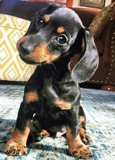 Hellouu, I am a cute little puppy and I want a treat please. #dachshund