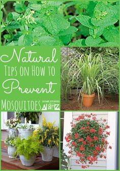 How to prevent mosquitoes naturally. Find out what plants and flowers work to repel mosquitoes.