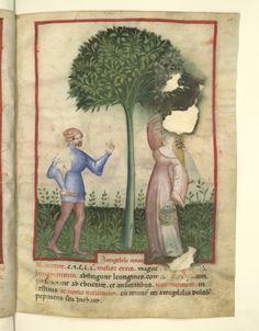 Nouvelle acquisition latine 1673, fol. 10, Récolte des amandes amères. Tacuinum sanitatis, Milano or Pavie (Italy), 1390-1400.