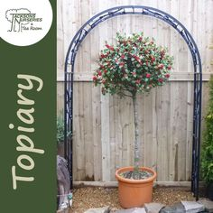 Buy Ilex aquifolium Lollipop (Topiary Holly) online from Jacksons Nurseries
