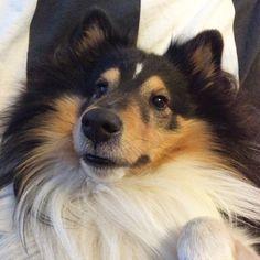Upside down sheltie #puppy #sheltie #shelties #sheltiegram #sheltiesofinstagram #dog #dogs #dogstagram #dogsofinstagram #puppygram #mosse #puppiesofinstagram #sheltti #shetlanninlammaskoira #shetlandsheepdog