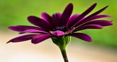 Another one of my purple daisies.