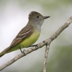Great Crested Flycatcher – World of Animal