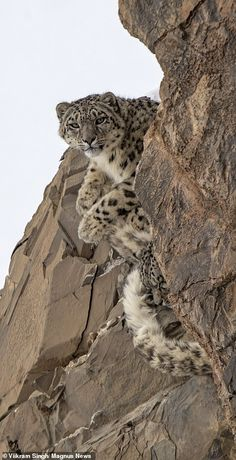 Rare snow leopard mother and cubs are spotted curling up on powder-covered ledge more than above sea level in the Indian Himalayas Tiger Pictures, Mother Pictures, Wildlife Photography, Animal Photography, Pet Tiger, Tiger Cubs, Bengal Tiger, Bear Cubs, Grizzly Bears