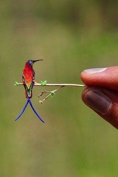 SMALLEST HUMMINGBIRD The crimson topaz (Topaza pella) is a species of hummingbird in the family Trochilidae. This species can be found in Brazil, Colombia, French Guiana, Guyana, Peru, Suriname, and Venezuela.