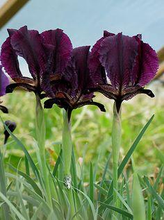 Iris (Oncocyclus sec.) paradoxa GEM OF LORI