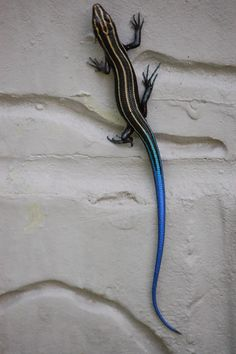 Lizard like the one found in southern Illinois in a mouse sticky trap.