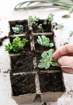 Succulent Propagation   Inspired by Charm