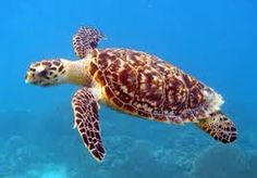 Turtle gliding it's way through water.