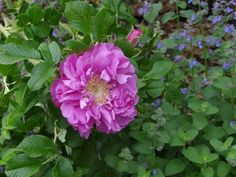 'Amelie Gravereaux' (Hybrid Rugosa) Gravereaux, France, 1903 - deep pink/red blend double blooms borne in clusters; very prickly cane; can die back in severe winter but basically hardy Shrub Roses, Spring Valley, Ornamental Plants, Amelie, Pretty Flowers, Shrubs, Bloom, Birds, Concept