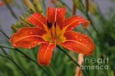 Day Lily by William Norton
