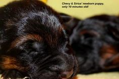 Mittelwest German Shepherd breeder, we strive to breed German Shepherd puppies for sale that will have rich black and red color along with excellent temperament and structure. We also breed our German Shepherd dogs to produce puppies for sale that are good for sport and show and excellent with families. Our German Shepherds puppies for sale are intelligent and eager to please their owners.