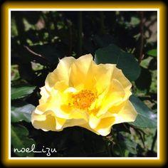 名前で選んだバラ/金蓮歩 #rose #garden #flower #nature #izu #japan #Phonto - @noel_izu- #webstagram
