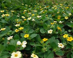 Chrysogonum virginianum 'Quinn's Gold' green and gold from North Creek Nurseries Evergreen Groundcover, North Creek, Plant Sale, My Secret Garden, Nurseries, Green And Gold, North America, Plants, Gardens