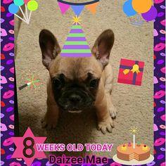 I am 8 weeks old today!  #Daizeemae #8weeksold #puppy #cutepuppy #texasfrenchies #frenchiesofinstagram #frenchbulldogsofinstagram #photooftheday #frenchieoftheday #squishyfacecrew #frenchbulldog