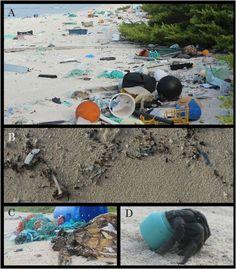 L'accumulation de déchets sur les plages de l'île Henderson. La plupart proviennent de matériels de pêche venus du Chili, de la Chine et du Japon, affirment les auteurs de l'étude. En B, un détail de la ligne de la plus haute marée de la plage du nord. Il y a peu de débris car c'est la quantité déposée en une journée après nettoyage de l'endroit par les chercheurs. En C, une tortue (Chelonia mydas) s'emmêle dans les filets de pêche et en C, un cénobite (Coenobita spinosa), cousin du…